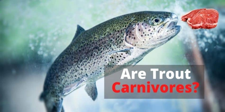 Are Trout Carnivores