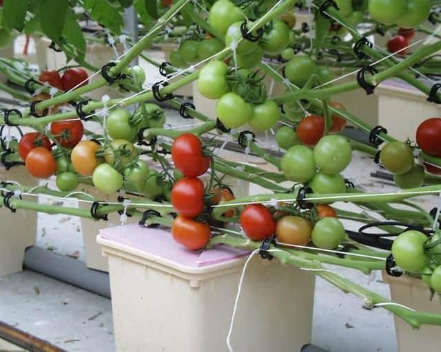 hydroponic tomatoes dutch bucket
