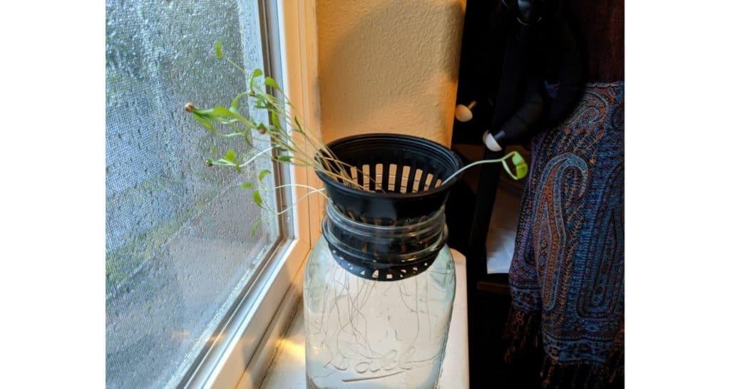 Starting Cilantro Seeds In Windowsill