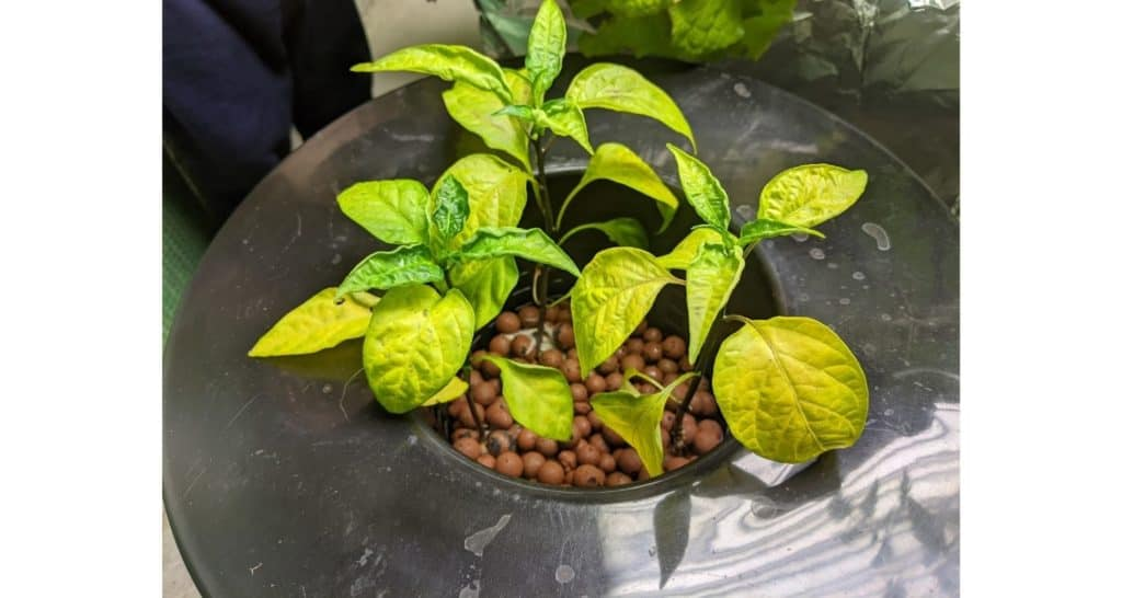 Jalapeno pepper plants growing in hydroton hydroponics