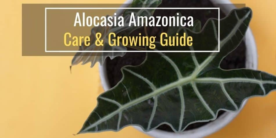Alocasia Amazonica - Care & Growing Guide