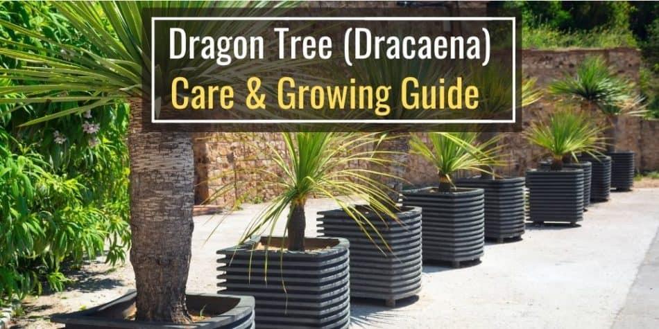 Dragon Tree (Dracaena) Care & Growing Guide