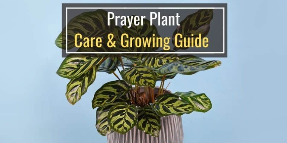 Prayer Plant Care & Growing Guide